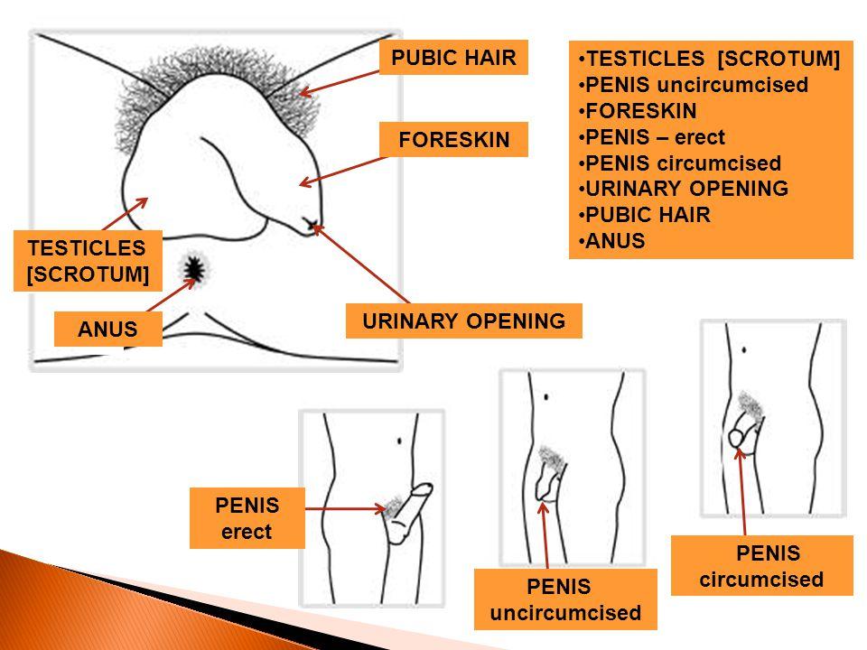 A B E C D F H G PUBIC HAIR TESTICLES [SCROTUM] PENIS uncircumcised